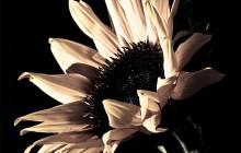 Burnt Sun Flower